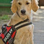 Hund mit Geschirr