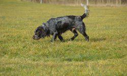 Stöberhund